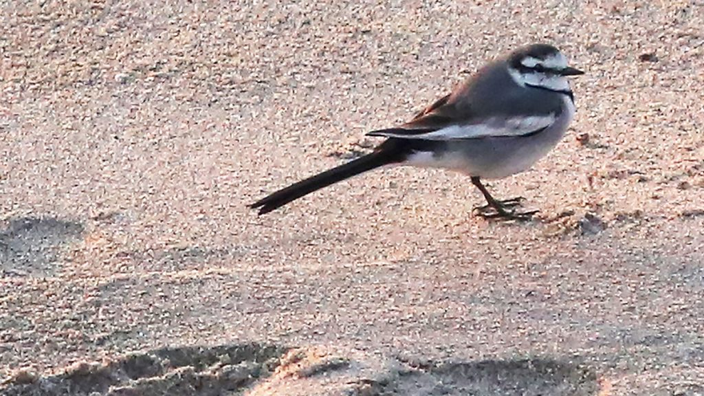 Name:  white wagtail1.jpg