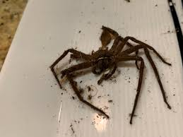 Name:  cane spider.jpg
