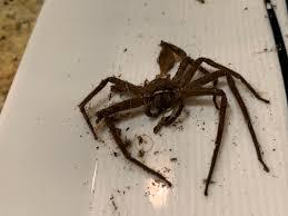 Name:  cane spider.jpg Views: 366 Size:  6.2 KB