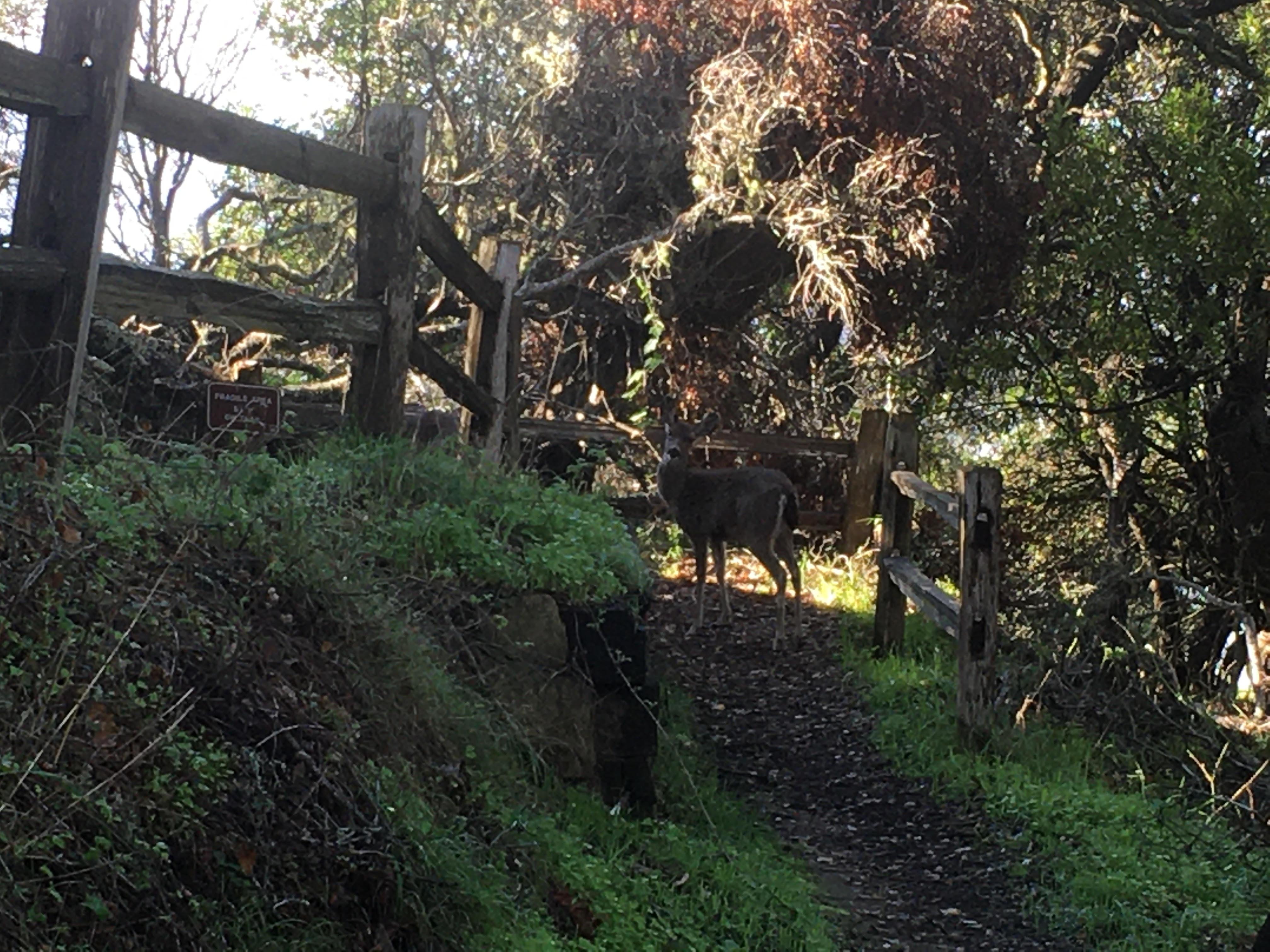 Name:  Deer on Angel Island 021921.jpg Views: 177 Size:  1.23 MB